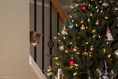 Is it Christmas yet? (Irina1010) Tags: cat christmastree peeking curious fatman pet holidays christmas decorations lights canon