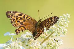 Reissussa rähjääntynyt, A little worse for the wear... (G10A9469LR) (pohjoma) Tags: hopeatäplä hyönteinen hyönteiset keisarinviitta perhonen päiväperhonen argynnispaphia silverwashedfritillary canoneos7dmarkii canonef100400mmf4556lisiiusm finland nature wildlife insect butterfly wings lepidoptera macro