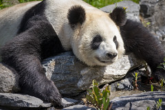 Panda aus dem Zoo Pairi Daiza (DeanB Photography) Tags: 1dx animals belgien canon deanb pairidaiza sigma sigma150600 sigma35mm tier tiere tierwelt zoo animal tierfotograf panda