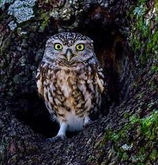 Mochuelo-Sierra Morena. (In Dulce Jubilo) Tags: andalucia andalusia animal animals sierramorena buho owl naturaleza nature salvaje wild pájaro