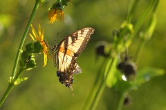 Tiger Swallowtail Butterfly (mnolen2) Tags: nature flower cup cupplant summer swallowtail butterfly