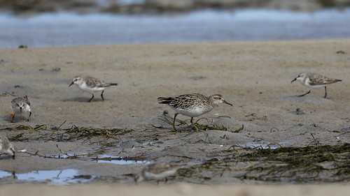 Sharp-tailed Sandpiper and Red-necked Stints