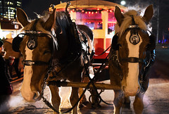 Two Boys On the Night Shift (Anthony Mark Images) Tags: malehorses horses belgianhorses holidaylightdisplay horsedrawntrolley hotbreath christmas trolleyrides trolley night evening park waterloo waterloopark ontario canada yokedtogether beautifulhorses holidays animals nikon d850 flickrclickx خيل 马匹 koně heste paarden kabayo leschevaux pferde άλογα סוסים घोड़ों lovak hross kuda cavalli 馬 말 cavalos ਘੋੜੇ cai лошади caballos hästar atlar ngựa פֿערד