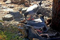 Swallow-tailed gull family (xd_travel) Tags: galapagos 2014 wildlife seagull gull endemic seabirds equador swallowtailedgull southplaza landiguana