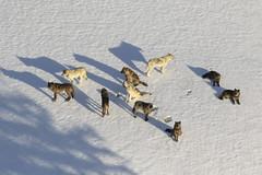 Anglų lietuvių žodynas. Žodis wolf pack reiškia vilkų paketas lietuviškai.