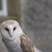 Staring Down A Barn Owl