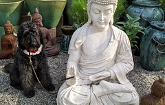 Benni and the Buddhas (Bennilover) Tags: shopping photographs pictures camera mindfulness calm sleepy thinking meditating buddha benni dog labradoodle