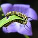 4th Day of Christmas Butterflies:  Monarch caterpillars