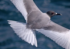 Swallow-tailed gull (xd_travel) Tags: 2014 galapagos equador endemic wildlife seabirds swallowtailedgull gull seagull inflight southplaza