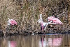 Roseate Spoonbills -Explored- DSC_0506 (blindhogmike) Tags: nature natur wildlife faune tierwelt bird oiseau vogel