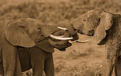 "A Twisted Kiss  3I9878 (Dr DAD (Daniel A D'Auria MD)) Tags: elephants africanelephants bushelephants africa kenya amboseli amboselinationalpark tanzania serengeti maasaimara mara mammals wildlife ""largestanimal"" ""largestmammal"" wildlifephotography awardwinning danielad'auriamd"" ""drdadbooks"" ""children'swildlifebooksbydanield'auria"" ""danield'auria"" ""november2019"""