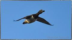 Ring neck drake (RKop) Tags: fernaldpreserve ohio raphaelkopanphotography nikon 600mmf4evr d500 nature birds