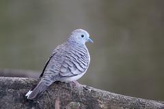 Peacefull Dove (Alan Gutsell) Tags: peacefulldove peacefull dove pigeon cairns geopeliaplacida native queenslandbirds alan australianbird wildlife wildlifephoto canon