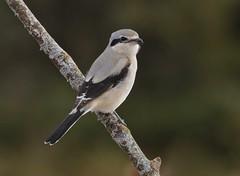 The Impaler (Slow Turning) Tags: laniusborealis northernshrike bird perched tree branch stick autumn fall southernontario canada