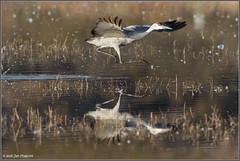 Crane Takeoff 3787 (maguire33@verizon.net) Tags: bosquedelapache bosquedelapachenationalwildliferefuge bird crane sandhillcrane wetlands wildlife sanantonio newmexico unitedstates