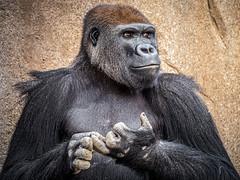 Taking Inventory (helenehoffman) Tags: silverback conservationstatuscriticallyendangered primate sandiegozoosafaripark ape gorilla mammal africa westernlowlandc frank gorillagorillagorilla animal coth coth5