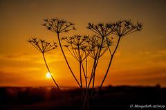 Silhouette (günter mengedoth) Tags: hdpentaxdfa2470mmf28edsdmaw hd pentaxd fa 2470mm f28 ed sdm aw pentaxk1 pentax pk nahaufnahme nature natur sonnenuntergang