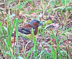 Зяблик (lvv1937) Tags: unlimitedbirds worldofbirds birdsphotos animalsallkinds птица зяблик