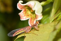 Mantidfly (jeans_Photos) Tags: campion campioncallosus neuroptera mantispidae midlandcemetry brachychitonpopulneus westernaustralia australia