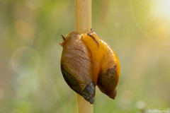 Snail love (annedphotography1) Tags: snails stem outdoorphotography closeup two double nature