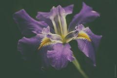 My Heart Remembers (michael.cessna) Tags: dream poem excerpt series heart iris louisianairis 11of11 remember remembers remembrance youth love romance