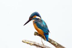 K32P2885 Kingfisher, Lackford Lakes, September 2019 (bobchappell55) Tags: kingfisher lackfordlakes suffolk alcedoatthis wild bird wildlife nature perched