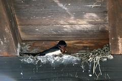 Barn swallow (Rick & Bart) Tags: 白川郷 shirakawago worldculturalheritagesite unesco japan nippon 日本 rickbart city landoftherisingsun rickvink canon eos70d gifu museum openairmuseum barnswallow 家燕 vogel bird