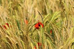 P1110703 (alainazer) Tags: saintmichellobservatoire provence france fiori fleurs flowers fields champs colori colors couleurs coquelicot poppy papavero blé grano wheat