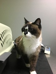 Chai - 9 year old spayed female