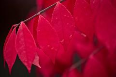 Burning Bush (macromerriment) Tags: nature flora garden outdoors outside colour color red crimson richmond bc britishcolumbia canada euonymusalata euonymus alata burningbush