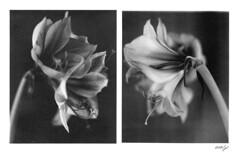 Amaryllis - whispering secrets - (gelelie / Gerda) Tags: wetdarkroom rodenstockimagonlens moersch se 6 blue