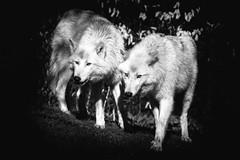 Gray Wolves (Pat Charles) Tags: amsterdam travel netherlands europe zoo wolf artis white gray wolves hudsonbay whitewolves wildlife canine carnivore untamed canislupus graywolves canislupushudsonicus wild bw animal animals blackwhite animalia monochrome