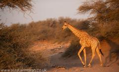 Giraffe Sunset (Alastair Marsh Photography) Tags: namibia hoanib hoanibriver hoanibvalley desert sand sunlight sun sunshine sunset dusk africa africanwildlife africanmammal africanmammals mammal mammals animal animals animalsintheirlandscape wildlife travelphotography wildlifephotography southernafrica skeletoncoast giraffe giraffes