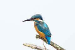 K32P2873 Kingfisher, Lackford Lakes, September 2019 (bobchappell55) Tags: kingfisher lackfordlakes suffolk alcedoatthis wild bird wildlife nature perched