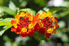 Vacances_1059 (Joanbrebo) Tags: mainau konstanz badenwürttemberg de deutschland flors flores flowers fiori fleur blumen blossom canoneos80d eosd autofocus contactgroups