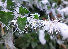 artist frost (majka44) Tags: snow macro macroworld green leaves hedera nature winter light day 2019 art frost frozen white colors magic foliage structure december