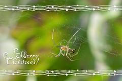 Christmas Web (suekelly52) Tags: spider web christmascard arachnid webwednesday