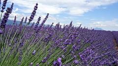 A delight for the eyes (Chemose) Tags: sony ilce7m2 alpha7ii juin june été summer provence france plateau valensole lavande lavander flower fleur violet purple