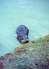Seal  Reifel Migratory Bird Sanctuary, Ladner, Sept 1967 (D70) Tags: westhamisland delta britishcolumbia canada sealreifelmigratorybirdsanctuary ladner sept1967 olympus zuiko autozoom 135f 5090mm halfframe slide film scanned penf fieldtrip
