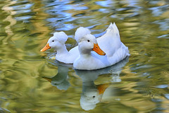 White Crested Ducks (lfeng1014) Tags: whitecrestedducks whitepompomduck goldengatepark stowlake sanfrancisco california usa ducks water reflection lake light closeup bokeh macrophotography canon5dmarkiii ef70200mmf28lisiiusm travel lifeng