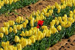 P1000705 (alainazer) Tags: lurs provence france fiori fleurs flowers fields champs colori colors couleurs tulipani tulipes tulips