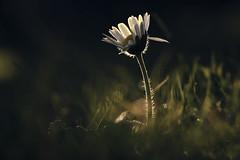 December Daisy (shawn~white) Tags: green hope bokeh joy glowing dreamy magical enchanting fujifilmxt2 ©shawnwhite flower macro grass closeup grain peaceful daisy purity fujinonxf80mmf28rlmoiswrmacro