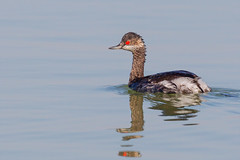The big problem with Grebes is that they end too soon. (Rajiv Lather) Tags: blackneckedgrebe podicepsnigricollis india indian birds birding grebes pic image photo photograph nature wildlife outside aves avian avifauna birder water black red redeye wet diver tailless