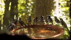 New Holland Honey Eaters x10 (nickant44) Tags: new holland honey eaters bird bath water tree garden australia clarendon canon 40d 55250mm efs