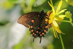 Spicebush Swallowtail Butterfly (mnolen2) Tags: nature flower plant cupplant butterfly swallowtail spicebush