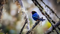 Golden-crowned Tanager (mathurinmalby) Tags: animal bird colombia cundinamarca goldencrownedtanageriridosornisrufivertex iridosornisrufivertex wildlife