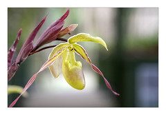 Orchid #5 (Jan H. Boer, Nature photographer) Tags: flowers orchids nature macro costarica paraiso lancestergarden nikon d500 tokinaatxprod100mmf28macro jansphotostream2019