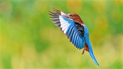 White Throated Kingfisher (Ric Seet.) Tags: f56 13200 iso1600 white throated kingfisher bif