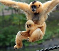 yellowcheeked gibbon artis BB2A0035 (j.a.kok) Tags: animal artis mammal zoogdier dier aap asia azie ape monkey mensaap motherandchild moederenkind primate primaat gibbon yellowcheekedgibbon goudwanggibbon