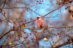 House finch (N.Batkhurel) Tags: season winter birds fruits mongolia animals ngc nikon nikondf 70200mm nikkor